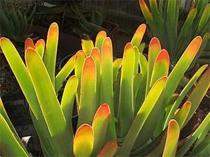 Aloe-leaf